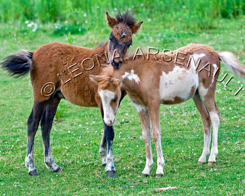 MAMMALS;LAND MAMMALS;HORSES;COLTS;MINIATURE HORSES;HORIZONTAL