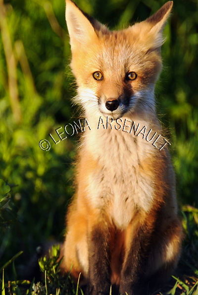 RED FOX;FOX;ANIMAL;MAMMALS;WILDLIFE;CARNIVORE;VULPES;CUB;BABIES;LAND MAMMALS