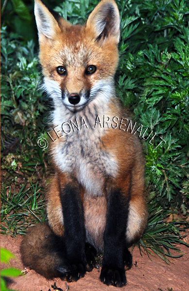 RED FOX;FOX;ANIMAL;MAMMAL;WILDLIFE;CARNIVORE;VULPES;CUB;BABY;LAND MAMMAL;