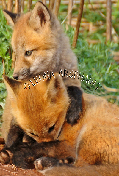 RED FOXES;FOXES;ANIMALS;MAMMALS;WILDLIFE;CARNIVORES;VULPES;SIBLINGS;CUBS;BABIES;LAND MAMMALS;