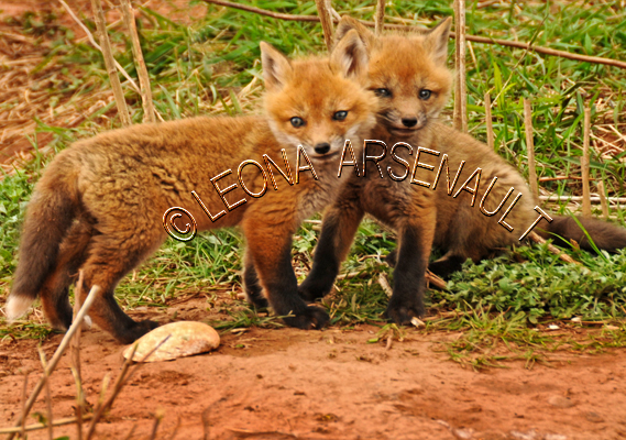 RED_FOXES;FOXES;ANIMALS;MAMMALS;WILDLIFE;CARNIVORES;VULPES;SIBLINGS;CUBS;BABIES;
