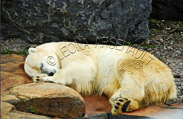 POLAR BEAR;BEAR;ANIMAL;MAMMAL;LAND MAMMAL;