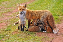 MAMMALS;LAND_MAMMALS;FOXES;BABIES;MOTHERS;CUBS;HORIZONTAL