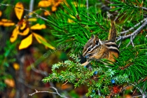 MAMMALS;LAND_MAMMALS;CHIPMUNKS;BERRIES;HORIZONTAL