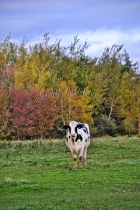 MAMMALS;LAND_MAMMALS;CATTLE;COWS;HOLSTEIN_COWS;PASTURES;FALL;FARMING;AGRICULTURE