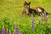 LAND_MAMMALS;MAMMALS;THOROUGHBRED;HORSES;COLTS;HERBIVOROUS;EQUINE;HORIZONTAL