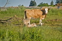 FARMING;AGRICULTURE;CATTLE;PASTURES;CROSS_BRED_COWS;CALVES;HERBIVOROUS;MAMMALS;L