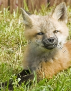 MAMMALS;LAND_MAMMALS;FOXES;BABIES;CUBS;VERTICAL
