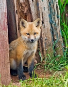 MAMMALS;FOXES;BABIES;CUBS;VERTICAL