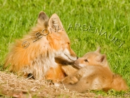 MAMMALS;LAND_MAMMALS;FOXES;BABIES;MOTHER;CUBS;HORIZONTAL