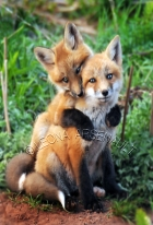 ;RED_FOX;FOX;ANIMAL;MAMMALS;WILDLIFE;CARNIVORES;VULPES;CUBS;BABIES;SIBLINGS;LAND