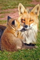 RED_FOXES;FOXES;ANIMALS;MAMMALS;WILDLIFE;CARNIVORES;MOTHER;VULPES;VIXEN;ADULT;CU