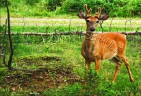 WHITE_TAILED_DEER;DEER;ANIMAL;MAMMAL;LAND_MAMMAL;HERBIVOROUS;CERVIDAE;