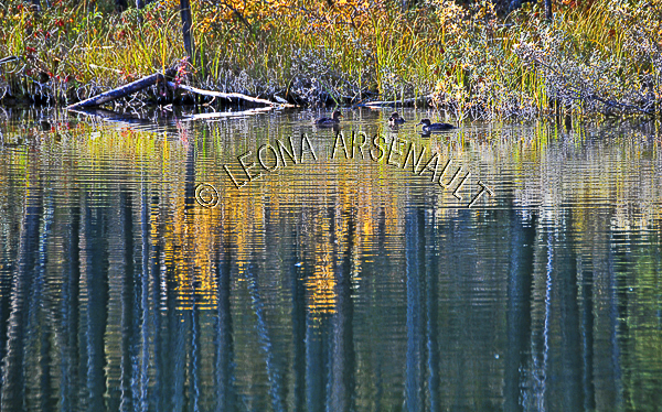CANADA;ALBERTA;ICEFIELD PARKWAY;CANADIAN ROCKIES;ROCKY MOUNTAINS;WATER;FALL;FALL COLORS;DUCKS;BIRDS;REFLECTIONS;WATERSCAPE;LANDSCAPE;SCENIC;HORIZONTAL