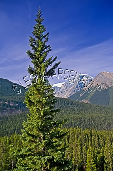 CANADA;ALBERTA;ICEFIELD PARKWAY;CANADIAN ROCKIES;ROCKY MOUNTAINS;FALL;LANDSCAPE;SCENIC;VERTICAL