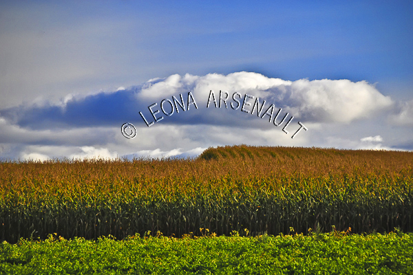CANADA;PRINCE EDWARD ISLAND;QUEEN'S COUNTY;SUMMERFIELD;CORN FIELD;CROP;CLOUDS;FARMING;AGRICULTURE;FALL;LANDSCAPE;SCENIC;HORIZONTAL