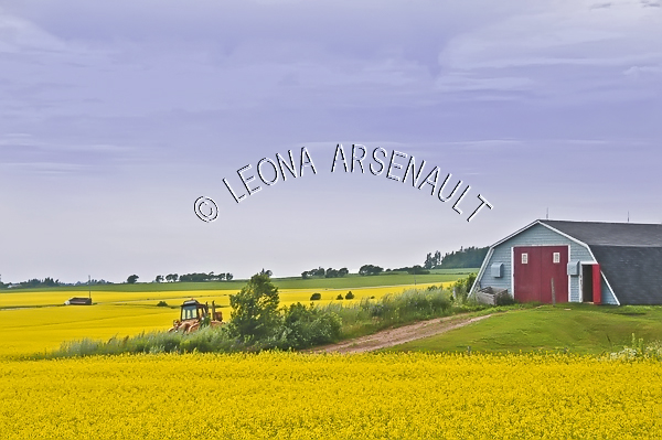 CANADA;PRINCE EDWARD ISLAND;PRINCE COUNTY;ALBANY;FIELD;CANOLA FIELD;FARMING;AGRICULTURE;BARN;BUILDING;LANDSCAPE;SCENIC;HORIZONTAL