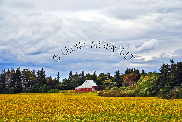 CANADA;PRINCE EDWARD ISLAND;QUEEN'S COUNTY;CAVENDISH;FIELD;CANOLA FIELD;FARMING;AGRICULTURE;BARN;BUILDING;SUMMER;LANDSCAPE;SCENIC;HORIZONTAL