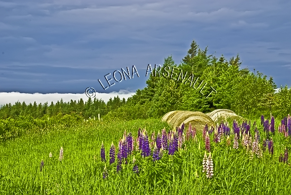 CANADA;PRINCE EDWARD ISLAND;PRINCE COUNTY;ABRAM-VILLAGE;HAY BALES;LUPINS;FLOWERS;AGRICULTURE;SPRING;LANDSCAPE;SCENIC;HORIZONTAL;