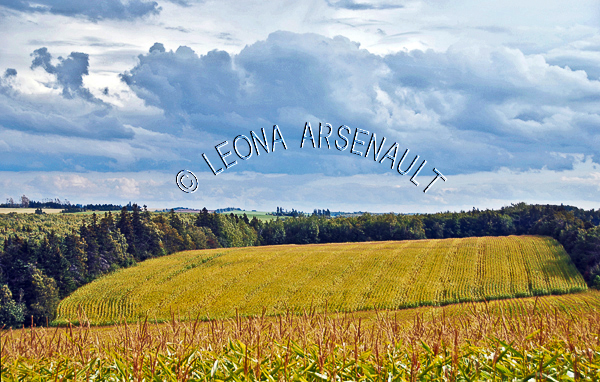 CANADA;PRINCE_EDWARD_ISLAND;QUEENS_COUNTY;_NEW_LONDON;FIELD;CORN_FIELD;FARMING;