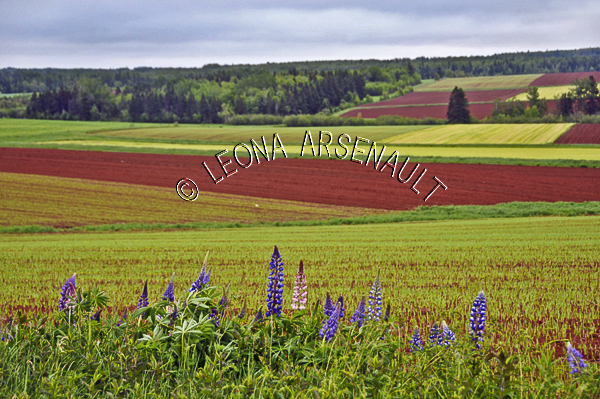 CANADA;PRINCE EDWARD ISLAND;PRINCE COUNTY;KINKORA;FIELDS;GRAIN FIELD;POTATO FIELD;AGRICULTURE;FARMING;LUPINS;FLOWERS;SPRING;LANDSCAPE;SCENIC;HORIZONTAL