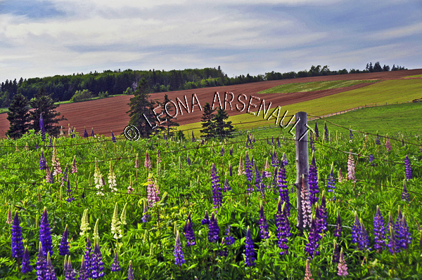 CANADA;PRINCE EDWARD ISLAND;QUEEN'S COUNTY;MARGATE;POTATO FIELD;FIELD;FARMING;AGRICULTURE;SPRING;LUPINS;FLOWERS;LANDSCAPE;SCENIC;HORIZONTAL