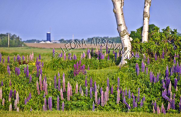 CANADA;PRINCE EDWARD ISLAND;QUEEN'S COUNTY;NORTH WILTSHIRE;POTATO FIELD;FIELD;BARN;SILO;FARMING;AGRICULTURE;SPRING;LUPINS;FLOWERS;LANDSCAPE;SCENIC;HORIZONTAL