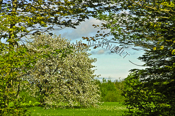 CANADA;PRINCE EDWARD ISLAND;PRINCE COUNTY;ABRAM-VILLAGE;APPLE TREE;TREE;BLOSSOMS;TREES;FRUIT TREE;LANDSCAPE;HORIZONTAL;