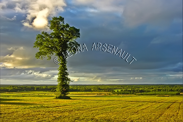 CANADA;PRINCE EDWARD ISLAND;PRINCE COUNTY;URBAINVILLE;HAY FIELDS;FIELDS;CROPS;TREES;CLOUDS;AGRICULTURE;FARMING;SUMMER;LANDSCAPE;SCENIC;HORIZONTAL
