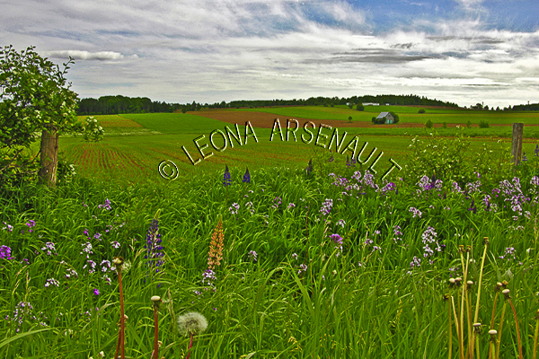 CANADA;PRINCE EDWARD ISLAND;PRINCE COUNTY;KINKORA;GRAIN FIELDS;FIELDS;LUPINS;FLOWERS;AGRICULTURE;FARMING;LANDSCAPE;SCENIC;HORIZONTAL