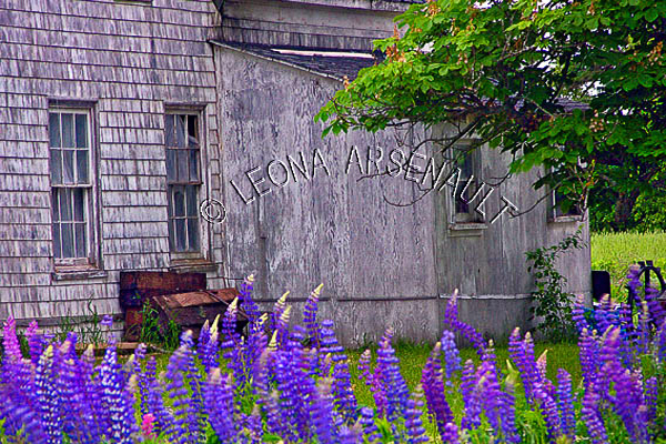 CANADA;PRINCE EDWARD ISLAND;KING'S COUNTY;OLD HOUSE;BUILDING;LUPINS;FLOWERS;SUMMER;LANDSCAPE;HORIZONTAL