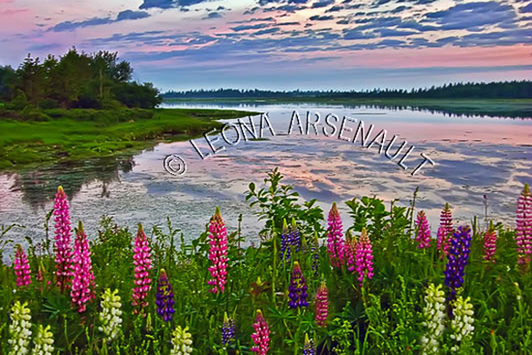 CANADA;PRINCE EDWARD ISLAND;PRINCE COUNTY;INDIAN RIVER;LUPINS;FLOWERS;DUSK;WATER;SUMMER;LANDSCAPE;WATERSCAPE;SCENIC;HORIZONTAL
