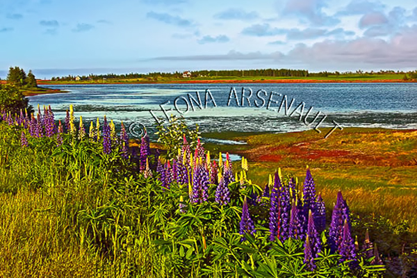 CANADA;PRINCE EDWARD ISLAND;QUEEN'S COUNTY;SPRINGBROOK;LUPINS;FLOWERS;WATERSCAPE;LANDSCAPE;HORIZONTAL