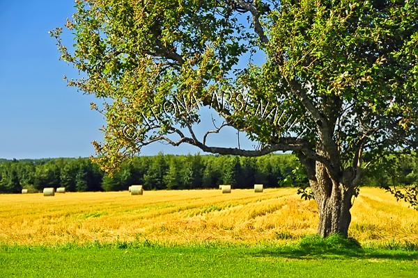 CANADA;PRINCE EDWARD ISLAND;PRINCE COUNTY;URBAINVILLE;AGRICULTURE;FARMING;HAY BALES;HAY FIELDS;FIELDS;CROPS;TREES;SUMMER;LANDSCAPE;HORIZONTAL