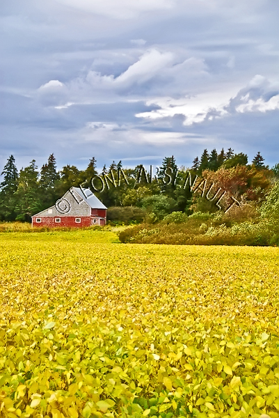 CANADA;PRINCE EDWARD ISLAND;QUEEN'S COUNTY;CAVENDISH;AGRICULTURE;FARMING;CANOLA ;FIELDS;FIELDS;BARN;BUILDING;SUMMER;LANDSCAPE;SCENIC;VERTICAL