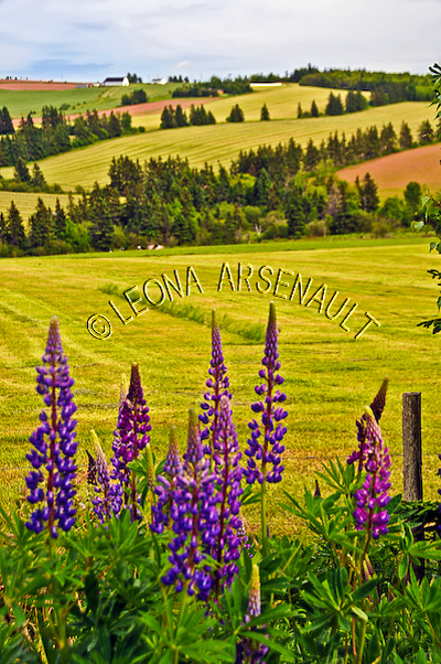 CANADA;PRINCE EDWARD ISLAND;QUEEN'S COUNTY;NEW LONDON;LUPINS;FLOWERS;ROLLING HILLS;AGRICULTURE;FARMING;HAY FIELDS;FIELDS;SUMMER;LANDSCAPE;SCENIC;VERTICAL