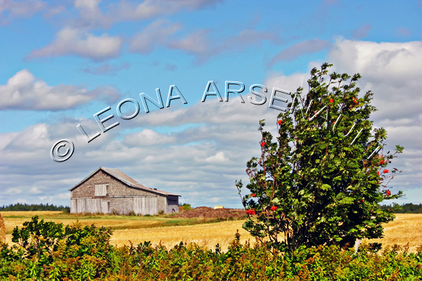 CANADA;PRINCE EDWARD ISLAND;PRINCE COUNTY;MONT-CARMEL;BUILDINGS;OLD BARNS;BARNS;FALL;FIELDS;AGRICULTURE;FARMING;;HORIZONTAL