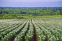 CANADA;PRINCE_EDWARD_ISLAND;PRINCE_COUNTY;URBAINVILLE;POTATO_FIELDS;FIELDS;AGRIC