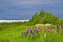 CANADA;PRINCE_EDWARD_ISLAND;PRINCE_COUNTY;ABRAM_VILLAGE;HAY_BALES;LUPINS;FLOWERS