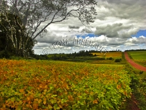 CANADA;PRINCE_EDWARD_ISLAND;QUEENS_COUNTY;VERNON_RIVER;SOYBEAN_FIELD;FIELD;RED_C