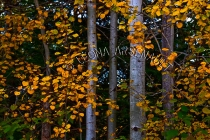 CANADA;PRINCE_EDWARD_ISLAND;PRINCE_COUNTY;WELLINGTON;FALL;LEAVES;TREES;FALL_COLO