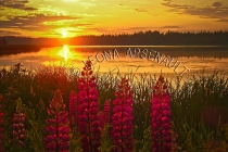 CANADA;PRINCE_EDWARD_ISLAND;PRINCE_COUNTY;INDIAN_RIVER;LUPINS;FLOWERS;SUNSETS;DU