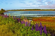 CANADA;PRINCE_EDWARD_ISLAND;QUEENS_COUNTY;SPRINGBROOK;LUPINS;FLOWERS;WATERSCAPE;