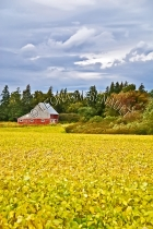 CANADA;PRINCE_EDWARD_ISLAND;QUEENS_COUNTY;CAVENDISH;AGRICULTURE;FARMING;CANOLA_;