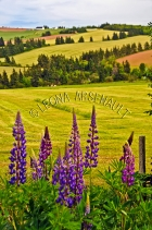 CANADA;PRINCE_EDWARD_ISLAND;QUEENS_COUNTY;NEW_LONDON;LUPINS;FLOWERS;ROLLING_HILL