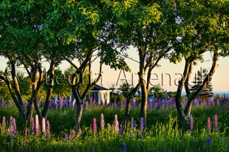 CANADA;PRICE_EDWARD_ISLAND;QUEENS_COUNTY;POINT_PRIM;TREES;FLOWERS;LUPINS;HORIZON