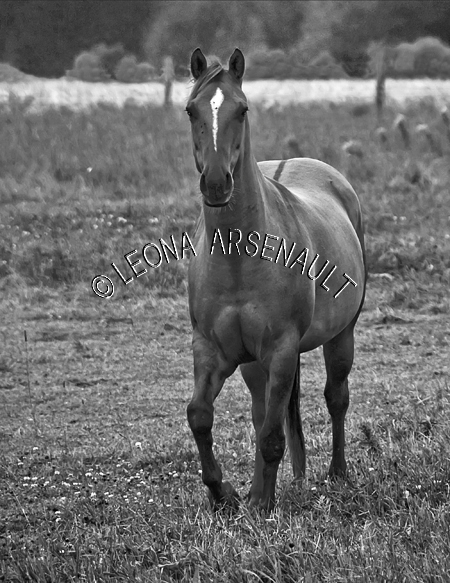 MAMMALS;LAND MAMMALS;HORSES;EQUINES;BLACK AND WHITE;VERTICAL