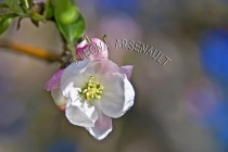 APPLE_BLOSSOMS;FLOWERS;WHITE;PINK;HORIZONTAL
