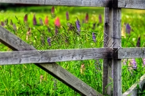 FENCES;LUPINS;FLOWERS;PINK;PURPLE;HORIZONTAL