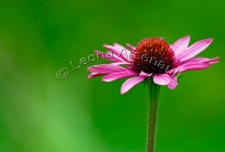 LAZY_SUSANS;PINK;FLOWERS;HORIZONTAL